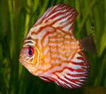 А как спят рыбы? И когда  спят рыбы ?У рыб нет непрозрачных век. Так что они не могут закрыть глаза, чтобы нормально  спать.