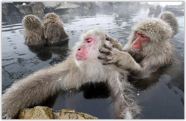 Снежные обезьяны.