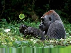 Обезьяны. Гориллы.  А зачем  гориллы бьют себя в грудь?