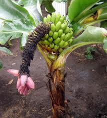 Бананы. А как растут бананы?