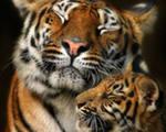 Львы и тигры. А зачем укротитель заходит в клетку с табуреткой?
