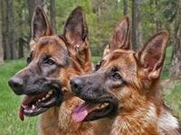 Почему у собак черные губы?