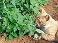 Кошки.Почему домашние кошки «балдеют» от кошачьей мяты?