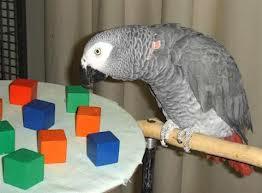 Почему попугаи подражают человеческой речи?